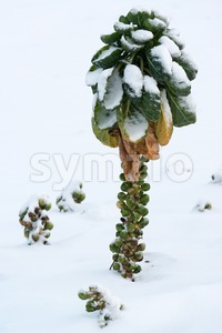 Brussels sprout in snow Stock Photo