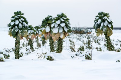 Brussels sprouts in snow Stock Photo