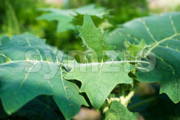Large green leaves with thorns on them (Solanum pseudolulo)