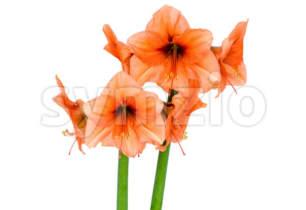 Orange Amaryllis in full blossom Stock Photo