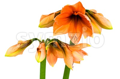 Blooming orange Amaryllis Stock Photo