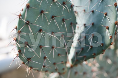Close-up of a prickly pear cactus Stock Photo