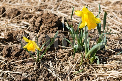young daffodils Stock Photo