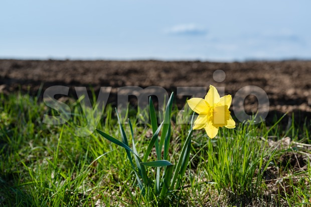 Lonely daffodil Stock Photo