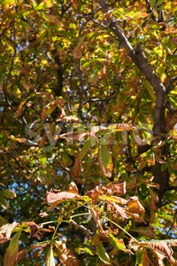 Cchestnut tree in autumn Stock Photo
