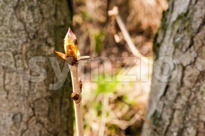 Chestnut bud Stock Photo