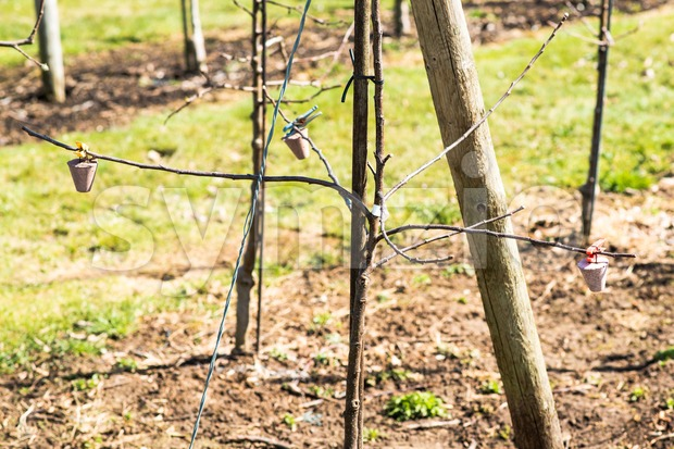 Growing apples in the orchard with weights applied in order for the branches to grow low on the ground