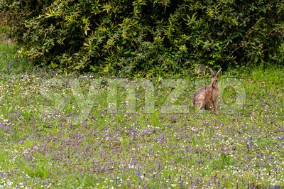 Wild hare in green grass Stock Photo