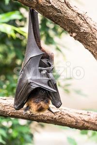 Fruit bat sleeping Stock Photo