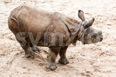 Young Indian one-horned rhinoceros (6 months old) Stock Photo