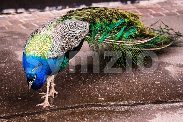 Peacock walking Stock Photo