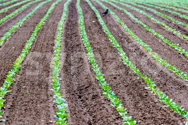 Rows of recently planted curly green leaf lettuce plants in the fertile soil of a field with a bird picking ...