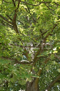 Old linden tree Stock Photo