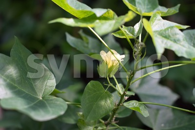 Flowering Cotton Stock Photo