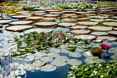 Gorgeous water lilies Stock Photo