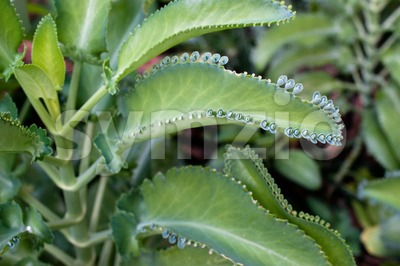 Kalanchoe leaves Stock Photo