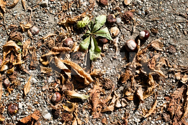 Fallen chestnuts with leaves and shells on the ground in autumn