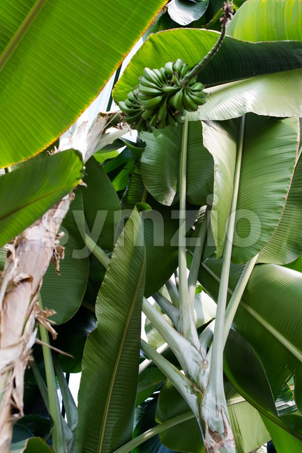 Detail of green bananas on a palm tree