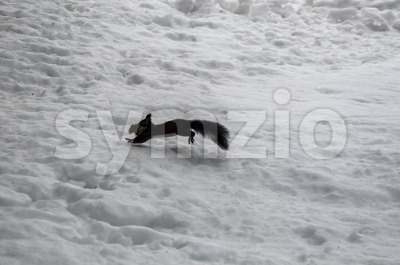 Squirrel jumping over skiing piste Stock Photo