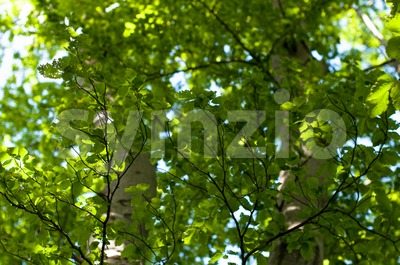 Beech foliage and may beetles Stock Photo