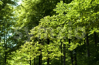 Beech forest in springtime Stock Photo