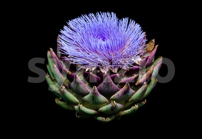 Blooming artichoke on black with clipping path Stock Photo
