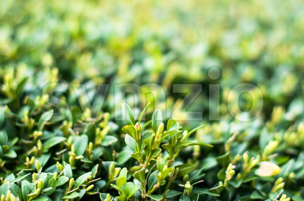Green leaves on branches of buxus in summer daylight
