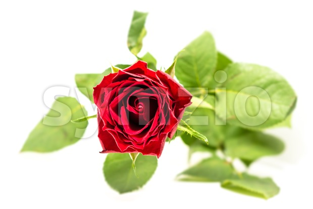 Beautiful red rose flower against perfect white background with selective focus and a shallow dof