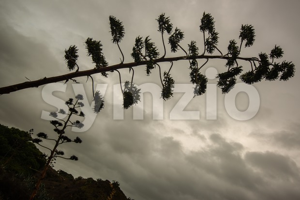 Agave blossom against dramatic cloudy sky on an autumn day in Portugal