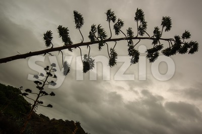 Agave blossom against dramatic cloudy sky Stock Photo