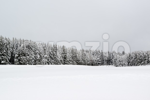 Forest during snowfall in winter Stock Photo