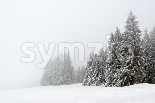 Spruce trees in foggy forest covered by snow in wnter landscape in the black forest during snowfall