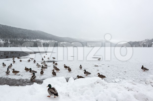 Mallard ducks on frozen lake Stock Photo
