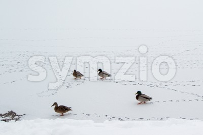 Mallard ducks walking on frozen lake Stock Photo