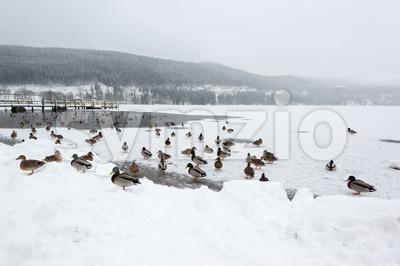 Mallard ducks on frozen lake Stock Photo