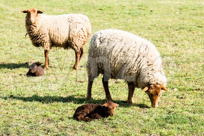 Mother sheeps and her lambs Stock Photo