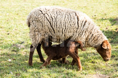 Mother sheep and her lamb Stock Photo