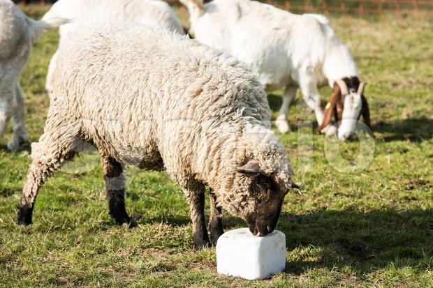 Lamb licking a block of salt Stock Photo