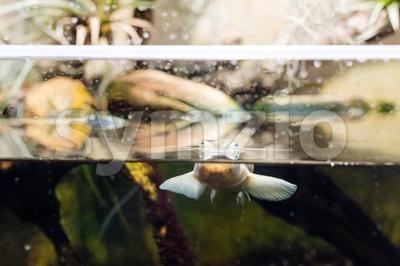 Four-eyed fish Stock Photo
