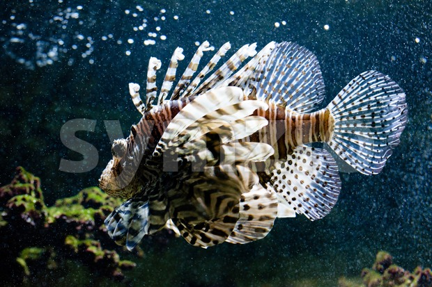 Common lionfish portrait Stock Photo