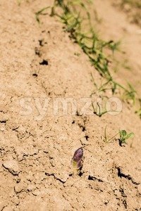 Asparagus head shoots above the soil Stock Photo