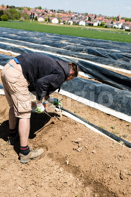 Man picking asparagus on a field Stock Photo