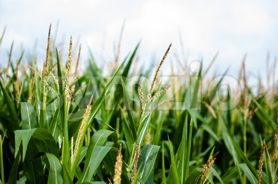 Maize on the field Stock Photo
