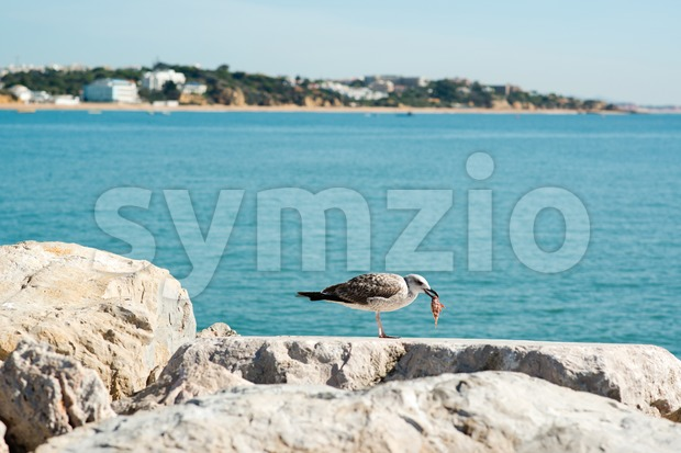 Seagull eating fish Stock Photo