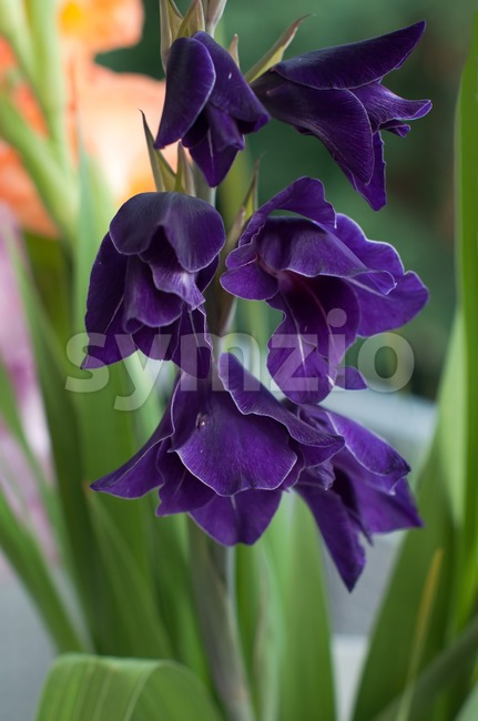 Purple Gladioli Stock Photo