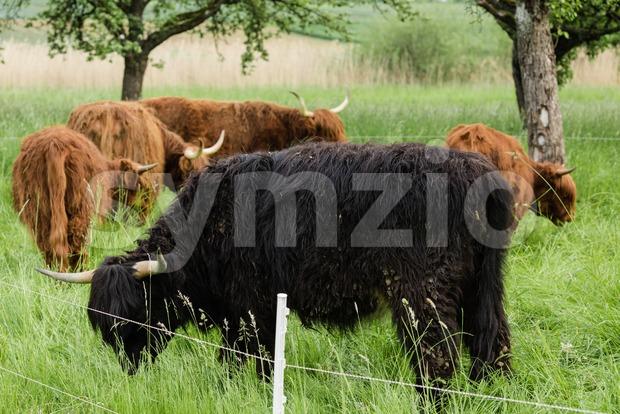 Red and black Highland cattle (Scottish Gaelic) grazing on pasture