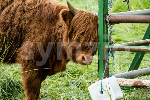 Juvenile Highland Cattle Stock Photo