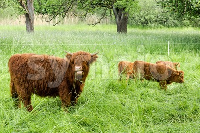 Young Scottish Highland Cows Stock Photo