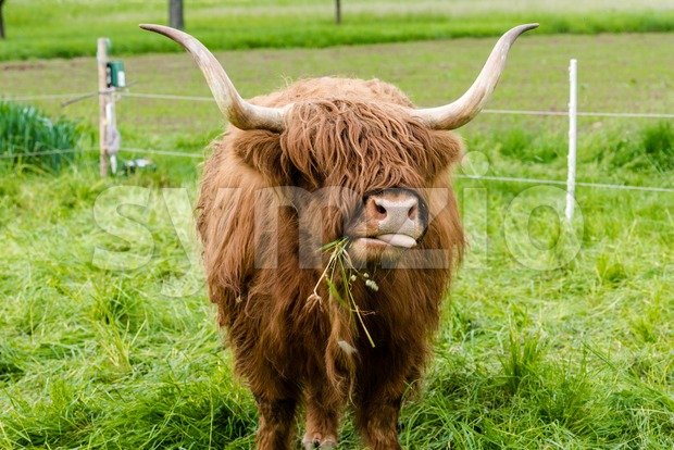 Red Highland cow (Scottish Gaelic) grazing on pasture