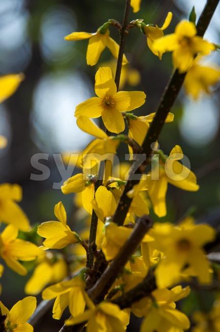 Forsythia Stock Photo